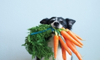 A dog holds a mouthful of carrots.