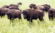 Bison at the Belwin Conservancy