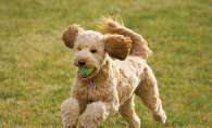 A labradoodle runs with a ball.