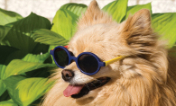 A small dog wearing sunglasses.