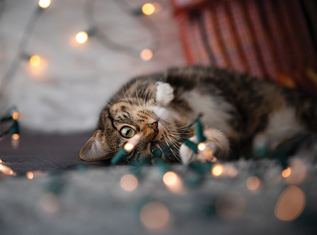 Fifi the cat plays with some Christmas lights.