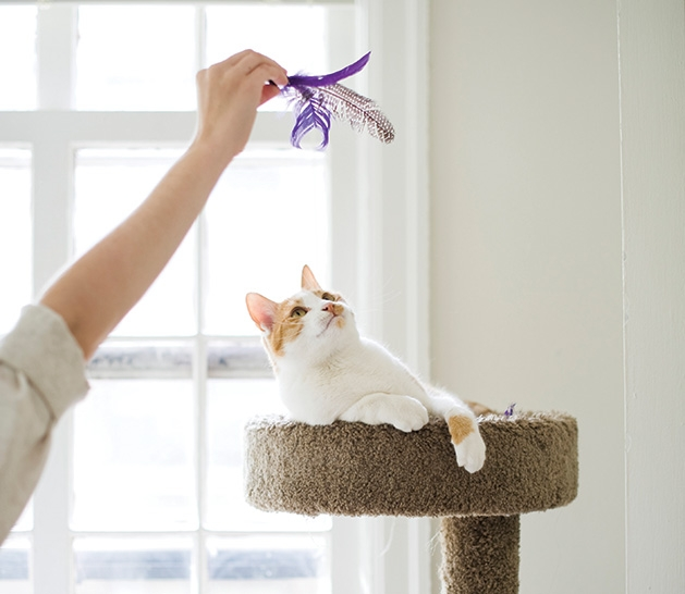A happy, healthy cat perched on a scratching post plays with a cat toy