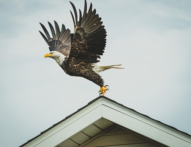 A bald eagle takes off from a rooftop.