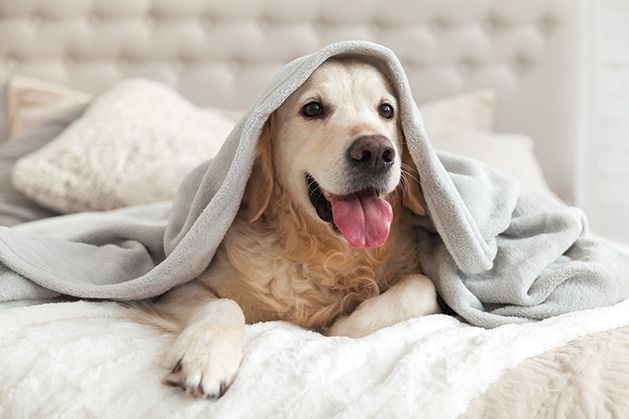 Happy dog with blanket