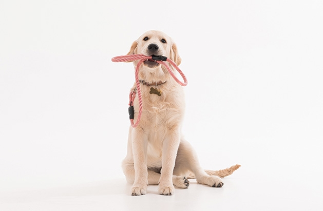 A dog in obedience classes sits and holds their leash in their mouth.