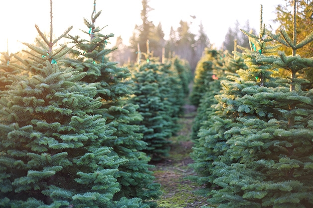 A row of Christmas trees at a Christmas tree farm in Woodbury