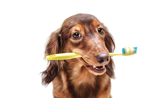 A brown dog holds a yellow toothbrush in its mouth.