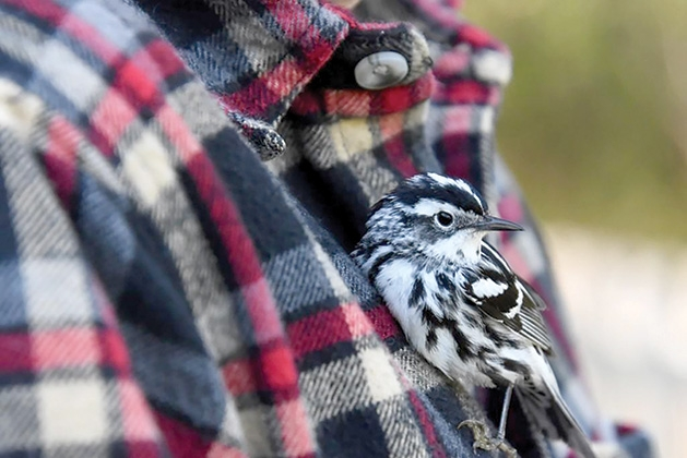 A man holds a recovering warbler close to his chest.