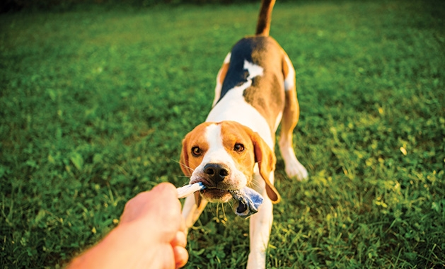 A person plays tug of war with their dog.
