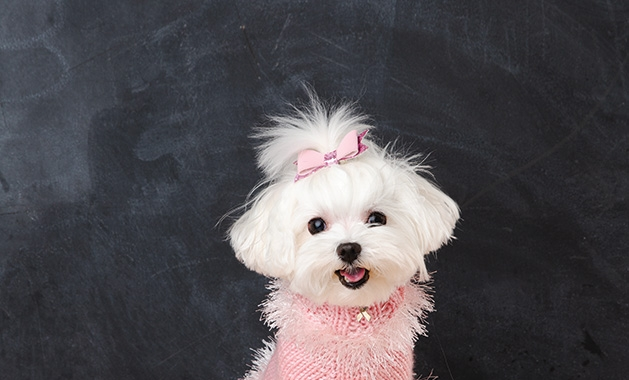 Paula Thornton's maltese models a pink dog sweater she knitted.