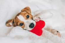 Puppy playing with heart-shaped toy