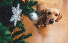 A dog looks at an ornament on a Christmas tree.